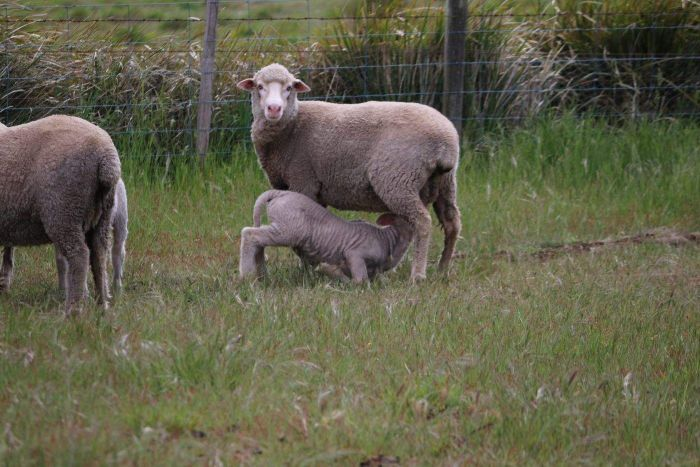 A lamb feeds off a ewe in a paddock in Tasmania.