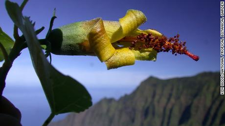 Thought to be extinct, the Hibiscadelphus woodii was rediscovered on a cliff face by a drone.