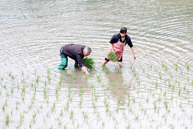 People plant rice seedlings at a village in Huaying, Sichuan province, China, April 27, 2017. The use of modern technology in the paddy sector in China has allowed the country to produce up to eight tonnes per hectare. — Reuters pic