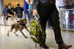 Transportation Security Specialist explosive detection canine handler Raquel Granados hangs on, left, as her dog, Szultan, chases after a man carrying a backpack laced with explosive elements during a demonstration in the TSA line at Dallas-Fort Worth International Airport, Wednesday, July 24, 2019. They were demonstrating the bomb-sniffing canine units that are used at airports across the country.<br>Tom Fox, The Dallas Morning News/TNS